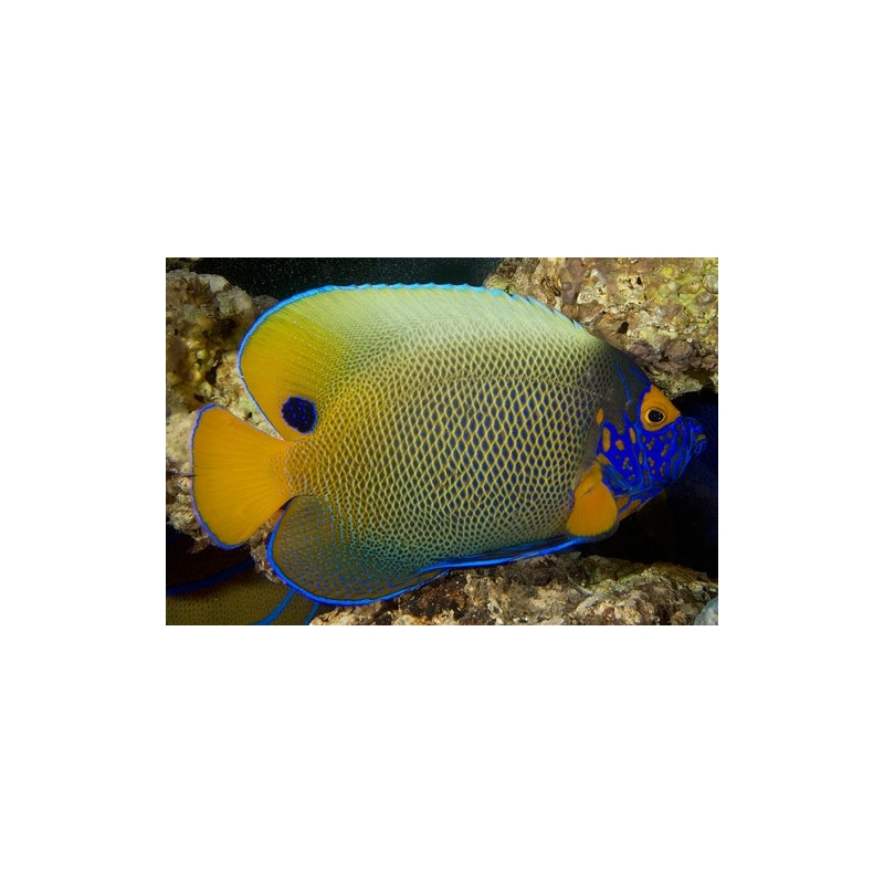BLUE FACE ANGEL - POMACANTHUS XANTHOMETOPON