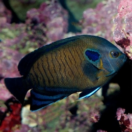 BLUE FIN ANGEL - CENTROPYGE MULTISPINIS