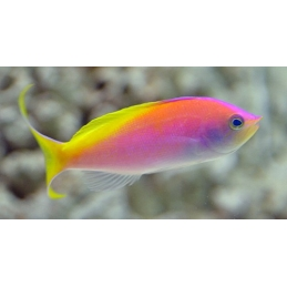 CARBERRYI ANTHIAS - NEMANTHIAS CARBERRYI