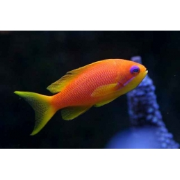 ORANGE ANTHIAS FÊMEA - PSEUDANTHIAS SQUAMIPINNIS