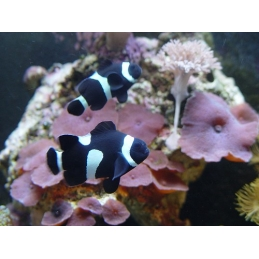 OCELLARIS BLACK CLOWN - AMPHIPRION OCELLARIS PQ