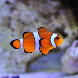 OCELLARIS CLOWN TB - AMPHIPRION OCELLARIS