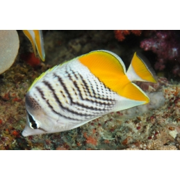 PEARLSCALE BUTTERFLY - CHAETODON XANTHURUS