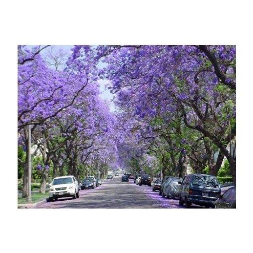 Árvore Jacarandá Azul  - Sementes Raras - Exóticas