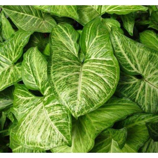 Planta Viva - Syngonium