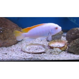 LABEOTROPHEUS TREWAVASAE RED TOP ALBINO 2 A 3 cm