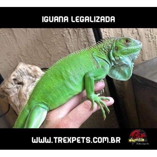 Iguana Iguana Legalizada