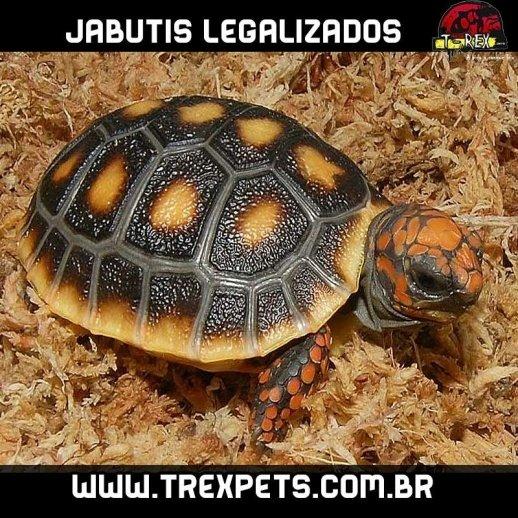 Jabuti Legalizado Criadouro