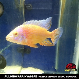 AULONOCARA ALBINA DRAGON BLOOD PEACOCK comprar