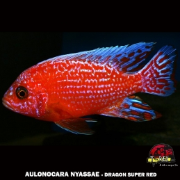 AULONOCARA DRAGON SUPER RED ciclideo africano