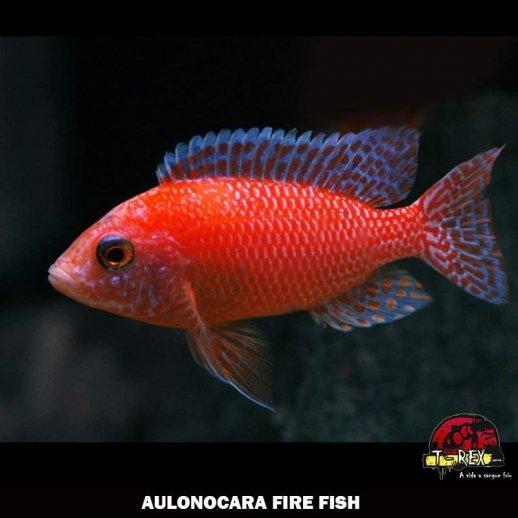 comprar AULONOCARA FIRE FISH ciclideos