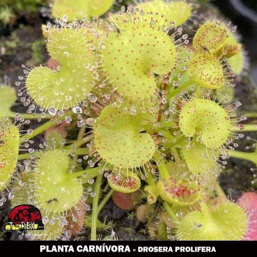 planta carnívora mercado livre