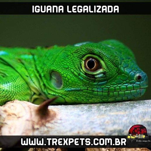 Filhote de iguana legalizada