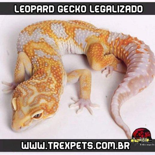 Leopard Gecko Legalizado - Lagarto