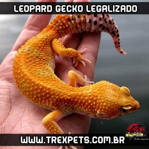 Leopard Gecko Legalizado Répteis