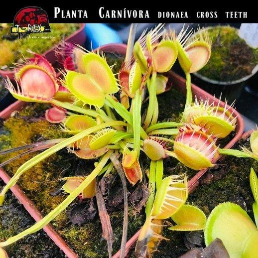 Planta Carnívora a venda
