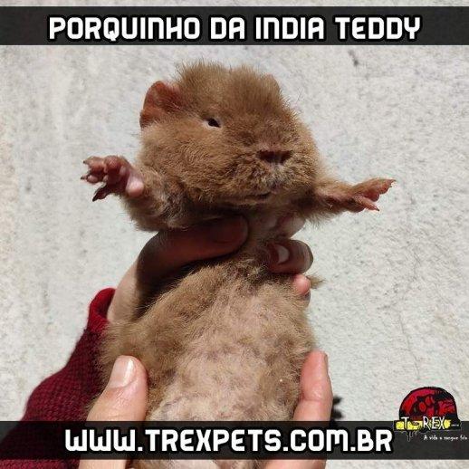 porquinho da india teddy