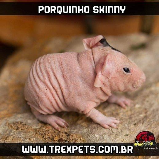 porquinho india skinny branco