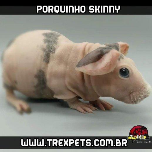 Porquinho da Índia sem pêlos Rio de Janeiro