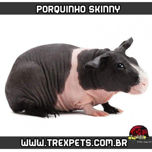 Criação de Porquinho da Índia sem pêlos