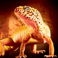 Kit Leopard Gecko