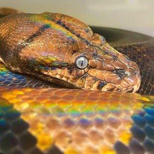 😍😍😍 Foto por: @tarabiron3 www.trexpets.com.br A loja dos répteis 🦎#trexpets #pogona #pogonas #snake #snakes #iguana #iguanas #leopardgecko #leopardgeckos #repteis #répteis #cornsnake #animaisexoticos #terrarios #terrario #kingsnake #crestedgecko #tartarugas #jabuti #tartaruga #tartarugas #turtle #tarantulas #dendrobates #cornsnake #teiú #dragaobarbado #animaisexoticos #lojarepteis #serpentes #reptile #reptiles #trexpets2